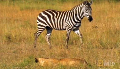 Một con ngựa vằn đi lạc đàn trên đồng cỏ đã vô