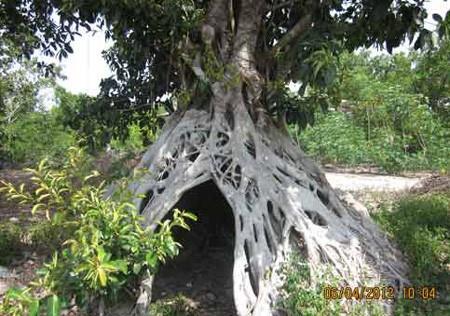 Dù được trả giá rất cao, nhưng gia đình anh Giáp nhất quyết không bán cây đa.