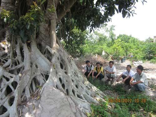 Bộ rễ cây đa có đường kính 5m.