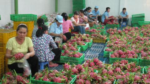 Thanh long cùng với chuối Việt Nam xuất khẩu sang Trung Quốc bị tố chứa dư lượng thuốc bảo vệ thực vật quá mức quy định.
