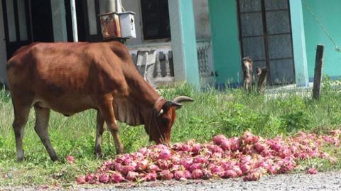 Thanh long bị đổ ra đường cho bò ăn tại huyện Hàm Thuận Nam, tỉnh Bình Thuận sáng 11/8 . Ảnh Tuổi trẻ TP.HCM