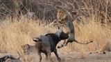 Trâu rừng húc bay sư tử hòng cứu trâu non