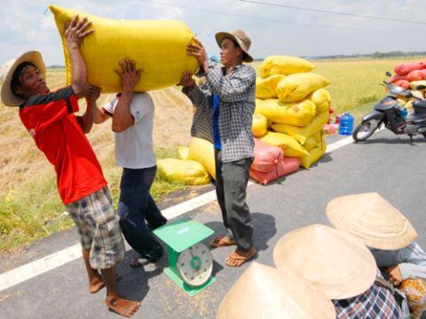 Nông dân bán thóc tươi ngay tại ruộng