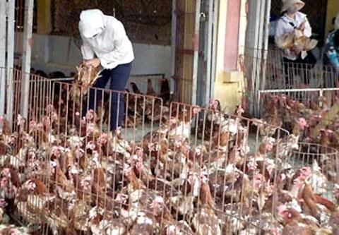 Gà thải loại chủ yếu nhập lậu vào Việt Nam qua cửa khẩu tại Lạng Sơn, Quảng Ninh