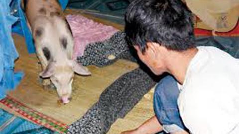 Người đầu thai vào lợn trắng đốm tròn đen gây xôn xao