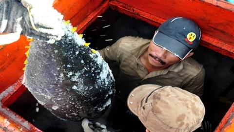 Ngừng bán cá ngừ cho Nhật để ngư dân 'thư thả' học?