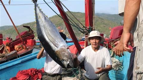 Câu cá ngừ kiểu Nhật: Ngư dân đòi bỏ vì... khó quá!