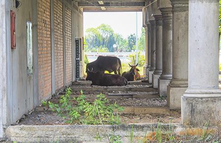 Khu đất bỏ hoang là nơi cho bò nghỉ dưỡng