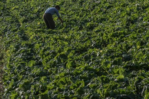 Để khuyến khích người dân làm nông nghiệp, chính phủ của ông Kim Jong-un hiện cho phép họ bán nông sản ở các khu chợ địa phương, điều mà trước đây bị cấm.  Trong ảnh, một người đàn ông đang kiểm tra ruộng rau cải thảo. Loại rau này sau đó sẽ là nguyên liệu làm món kimchi.