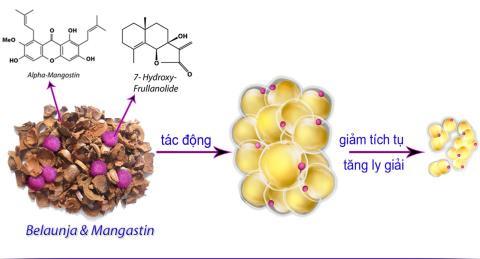 Hoạt chất sinh học thiên nhiên từ Belaunja và Mangastin giúp giảm tích tụ và tăng ly giải mỡ trắng