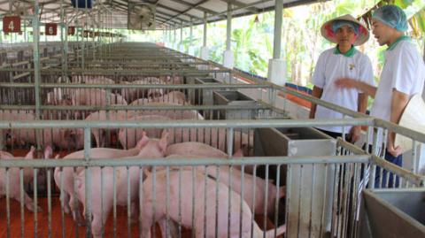 Chăn nuôi trong nước phụ thuộc lớn vào nguồn nguyên liệu nước ngoài. Ảnh : Tuổi trẻ
