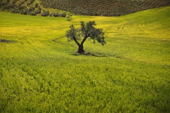 Cây ô-liu trên cánh đồng ở ngoại ô Ronda, gần Malaga, Tây Ban Nha