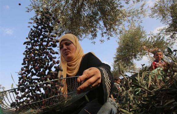 Nông dân Palestin phân loại ô-liu trong vụ thu hoạch ở làng Awarta, gần Nablus.
