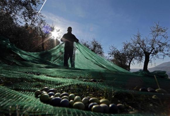 Nông dân sử dụng lưới để thu hoạch ô-liu dưới cây ô-liu gần làng Castagniers, phía Bắc Nice, Pháp