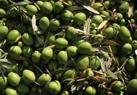 Quả ô-liu tại cánh đồng ở La Rinconada, gần thủ phủ Andalusian, Seville, Tây Ban Nha.