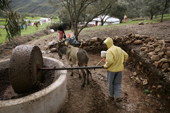 Công nhân tại nhà máy dầu ô-liu truyền thống gần Chefchaouen, phía Bắc Morocco.