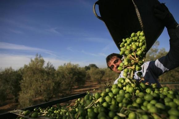 Công nhân trút ô-liu từ xô tại cánh đồng ô-liu ở La Rinconada, gần thủ phủ Andalusian, Seville, Tây Ban Nha.