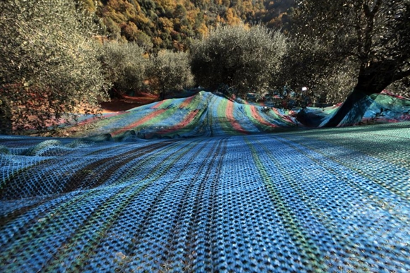 Các loại lưới nhiều màu sử dụng để thu hoạch ô-liu trải dưới cây ô-liu gần làng Castagniers, phía Bắc Nice, Pháp.