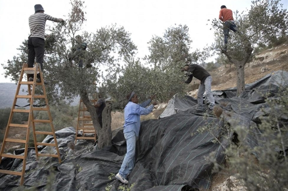 Người Palestine thu hoạch ô-liu gần làng Nablus.