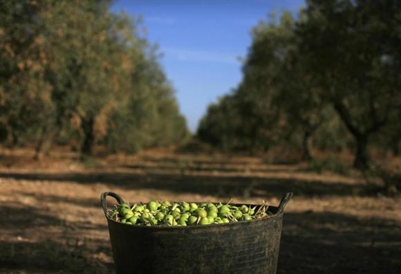 Giỏ ô-liu vừa thu hoạch tại cánh đồng ô-liu ở La Rinconada, gần Andalusian, Seville.