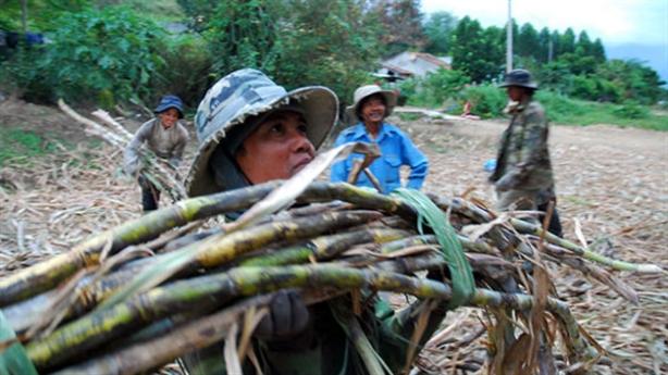 Chuyện lạ nông nghiệp Việt: Nuôi bò đổ sữa,trồng mía đổi đường...