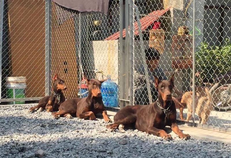 Trại chó của anh Nguyễn Hoàng ở Đền Lừ, Hoàng Mai, Hà Nội là nơi chăm sóc nhiều giống chó nhập ngoại. Trong đó phải kể đến giống Dobermann Pinscher, nguồn gốc từ Đức, là 1 trong 10 giống chó quý trên thế giới.