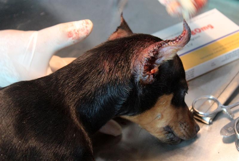 Cận cảnh chiếc tai vừa được phẫu thuật thẩm mĩ của 1 chú chó. Sau khi xén tai, công đoạn khâu thẩm mĩ vô cùng quan trọng, sao cho da của chó bao trùm phần vừa cắt xén để sau khi lành tai chó có đôi tai đẹp tự nhiên, đường cắt vẫn có thể mọc lông bình thường