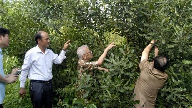Cấp tập trồng cây mắc ca:Trồng đơn lẻ còn không cho quả!