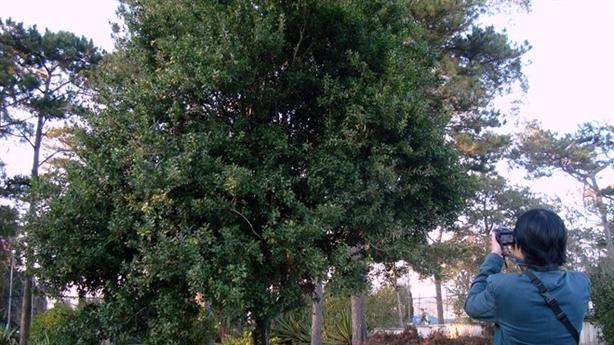 Cấp tập trồng mắc ca: Đắng chát bài học cây ca cao