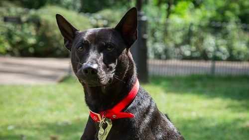 Đại gia Anh rao bán đàn chó Phú Quốc giá 340 triệu/con