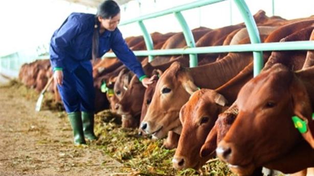 Bầu Đức nuôi bò siêu lợi nhuận: 'Bắt chước' đâu dễ
