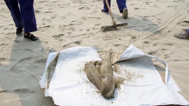 Đà Nẵng phát hiện cá chết dạt bờ: Hiện tượng bình thường