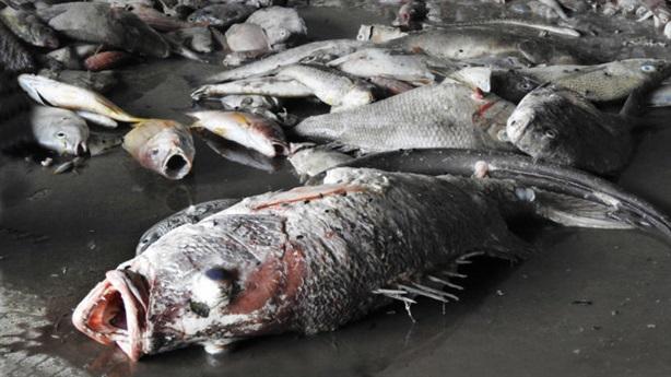 Cá chết xếp lớp dưới đáy biển:Hóa chất cực mạnh, cực độc