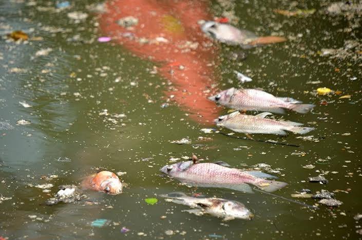 Xác cá nổi đầy trên mặt nước xen lẫn trong rác thải bẩn, phế liệu các loại.