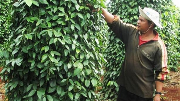 Thu hồi dự án trồng tiêu, vận đen vẫn bám Bầu Đức