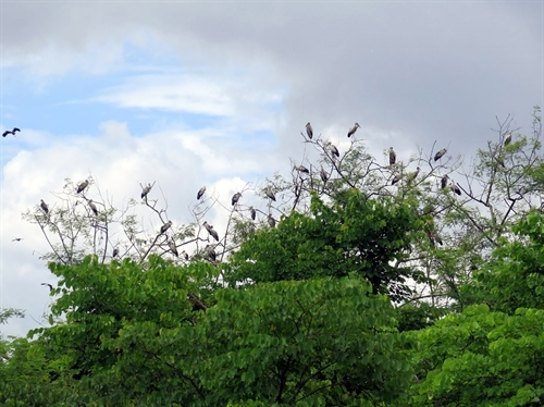 Tại khu Di tích Trung tâm tập đoàn cứ điểm Điện Biên Phủ thời gian gần đây xuất hiện hàng trăm chim cò nhạn quý hiếm - là loài chim có tên trong Sách đỏ Việt Nam.