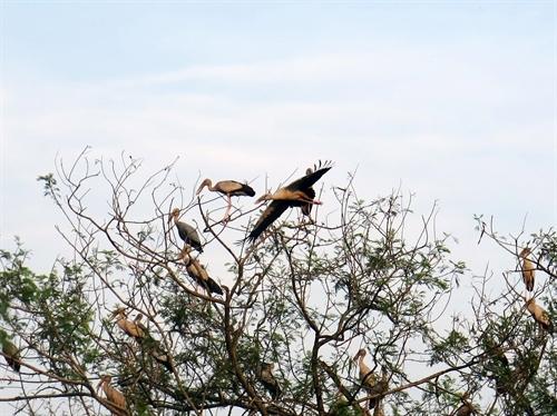 Thấy từng đàn chim quý bay về sinh sống ở đây, người dân tại địa phương đã vô cùng vui mừng, cho rằng đây là nơi đất lành chim đậu.