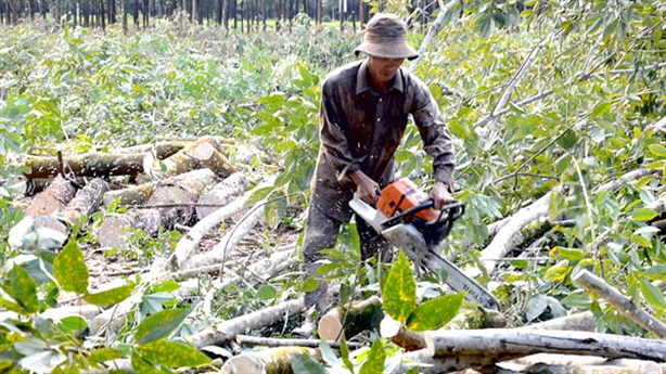Trung Quốc sốt sắng mua gỗ cao su Việt Nam: Rất lạ...