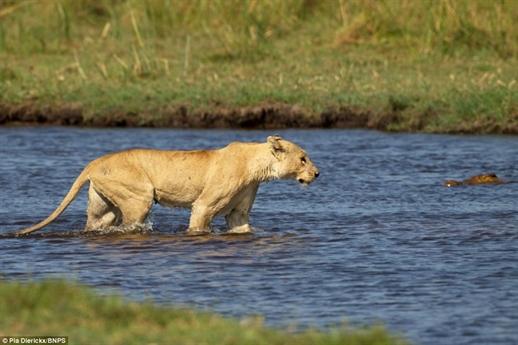 Những hình ảnh về cuộc đụng độ giữa hai loài động vật ăn thịt hung dữ nhất châu Phi ở bờ sông Okavanga, Botswana.