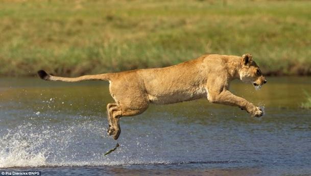 Để đảm bảo an toàn cho đàn con vượt sông, sư tử mẹ đã lao vào cuộc chiến với cá sấu để đánh lạc hướng kẻ địch.