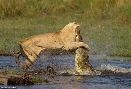 Đây có thể nói là hành động thông minh nhưng không kém phần mạo hiểm, liều lĩnh của sư tử mẹ.