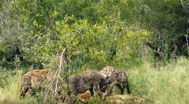 Linh cẩu khi đi săn luôn là kẻ đáng gờm với sức mạnh tập thể.