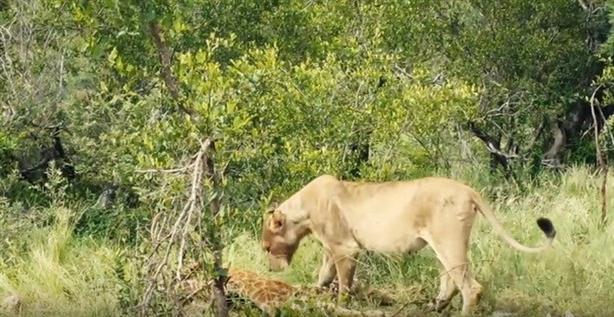 Sự xuất hiện của sư tử khiến cho đàn linh cẩu phải tạm nhường bữa ăn của mình cho chúa sơn lâm.