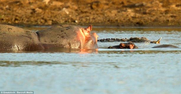 Với hà mã, cá sấu không phải là đối thủ quá đáng ngại  khi hà mã sở hữu sức mạnh có thể lấy mạng của cá sấu.