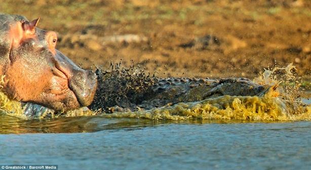 Hà mã nhanh chóng tấn công cá sấu bằng hàm răng đáng sợ của mình. Phát cắn sâu của nó chỉ cách đầu con cá sấu một chút.