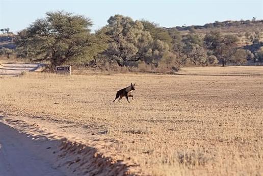Từ xa, một con linh cẩu nâu xuất hiện.
