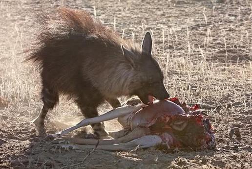 Ngay lập tức nó không chút ngần ngại tiến tới cướp miếng mồi của đàn báo đốm.