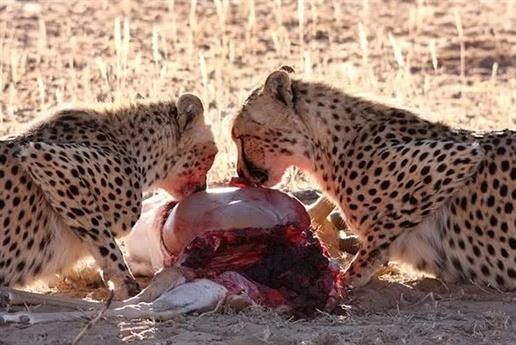 Đàn báo đốm đang thưởng thức bữa ăn của mình tại Công viên Kgalagadi Transfrontier, Nam Phi.