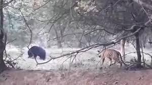 Chơi lớn săn gấu, hổ dữ nhận kết bẽ bàng