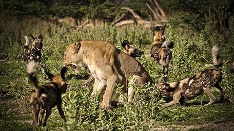 Đàn chó hoang bao vây sư tử đơn độc: Kết có sốc?